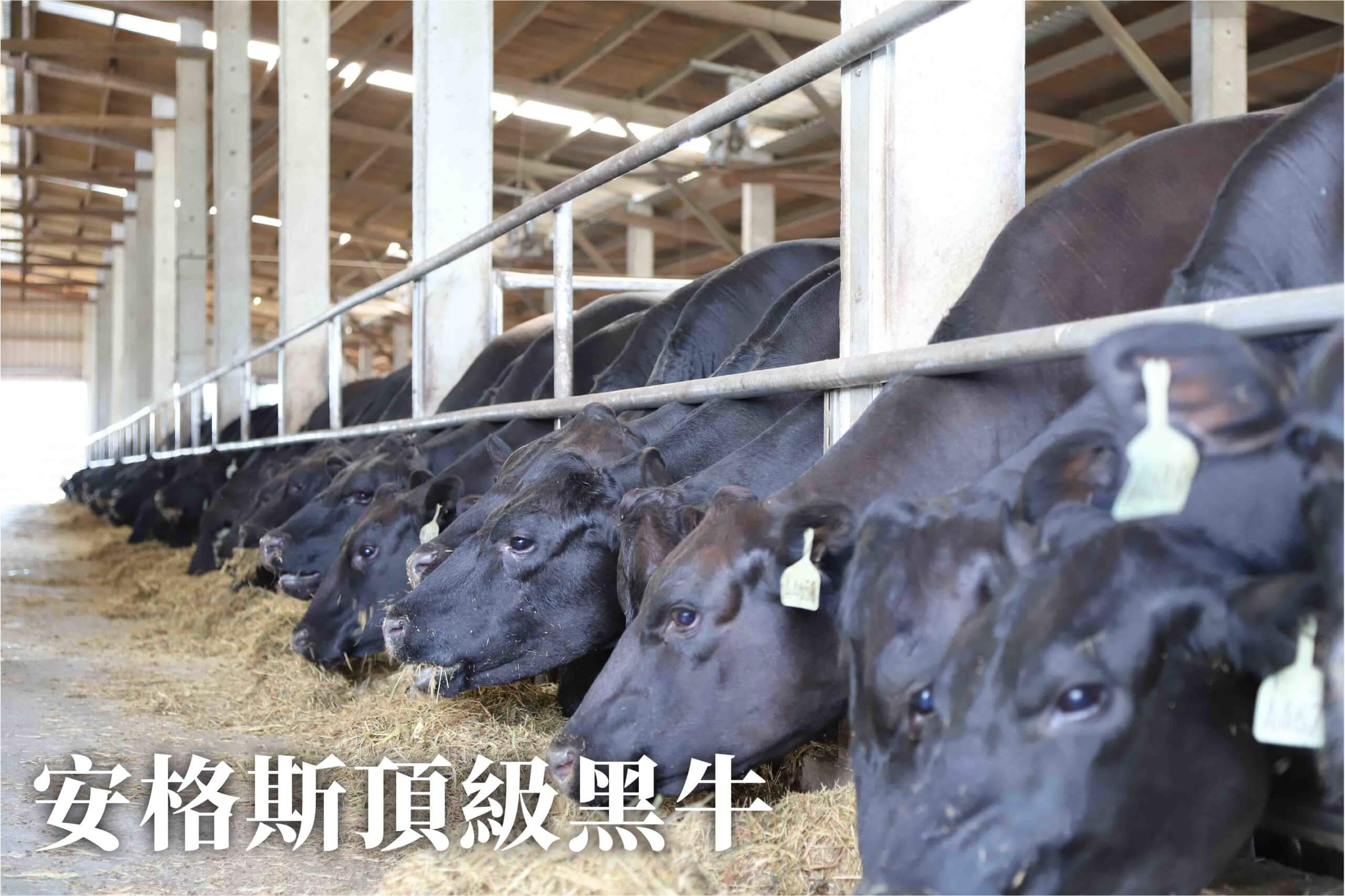 農場晃晃 - 安格期黑牛