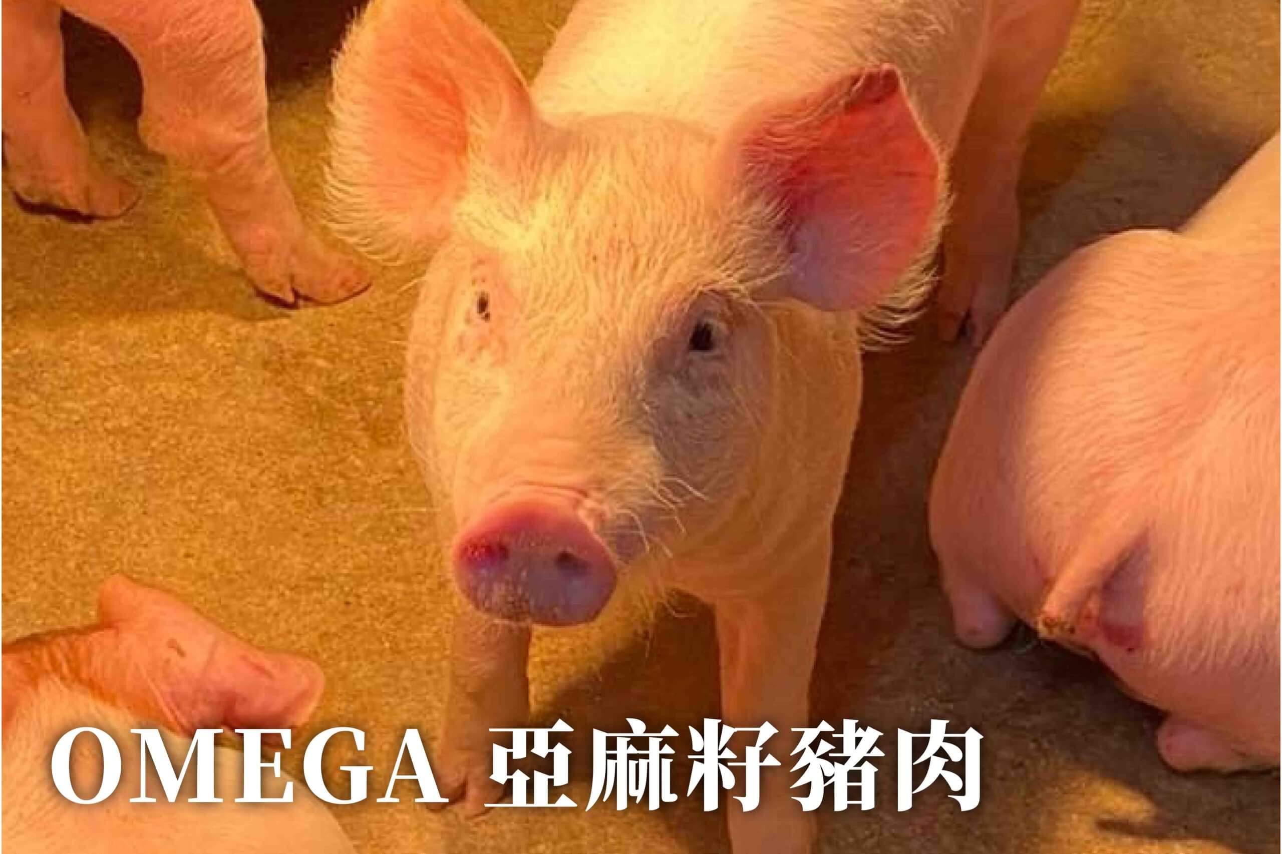 農場晃晃 - 亞麻籽豬
