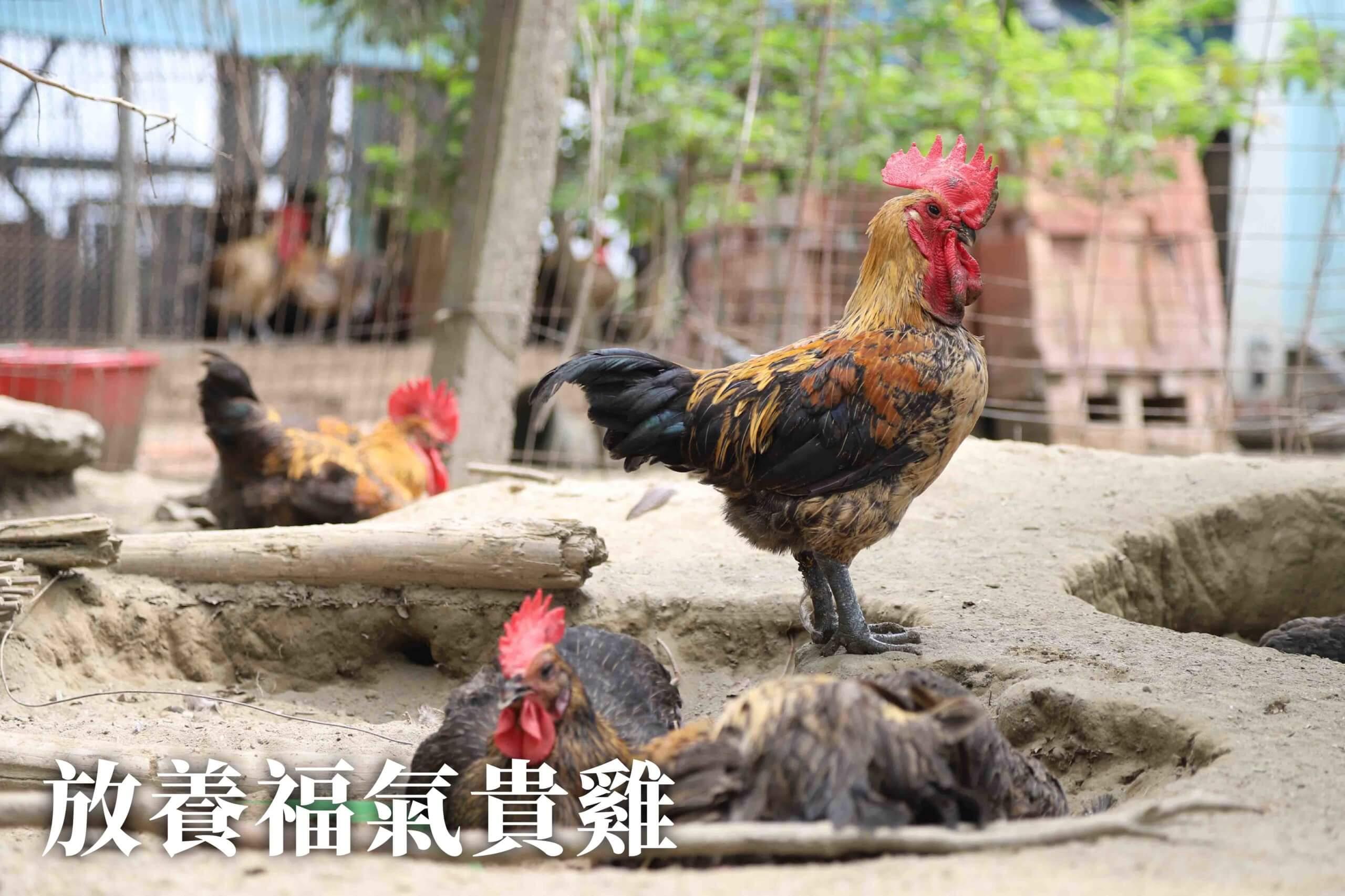 農場晃晃 - 亞麻籽雞